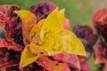 leaf of Rushfoil or Croton tree