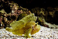 Leaf scorpionfish under water Stock Photos
