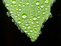Leaf sits dew drops Royalty Free Stock Photo