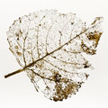 Leaf Skeleton Royalty Free Stock Photo