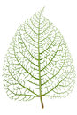 Leaf skeleton veins Royalty Free Stock Photo