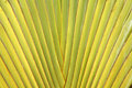 Leaf stalk of Traveller Palm Stock Image