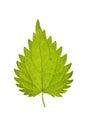 Leaf of Stinging nettle isolated on white Royalty Free Stock Photo