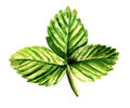 Leaf of strawberry watercolor image green Royalty Free Stock Photography