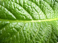 Leaf of streptocarpus green with well visible streaks macro Stock Photo