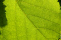 Leaf texture green perfect for backgrounds Royalty Free Stock Photography