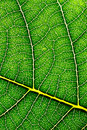 Leaf texture a macro of a to back lighting Royalty Free Stock Images