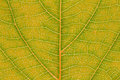 Leaf texture pattern background for graphic design. Royalty Free Stock Photo