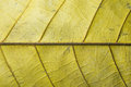 Leaf texture of yellow green Royalty Free Stock Photos