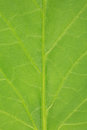 Leaf of a tomato plant with copy space for your own text Royalty Free Stock Photo