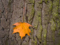 Leaf and tree in autumn a on the bark of a colourful the season Royalty Free Stock Photos