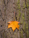 Leaf and tree in autumn a on the bark of a colourful the season Stock Images