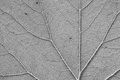 Leaf vein texture of black and white