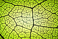 Leaf veins Royalty Free Stock Photo