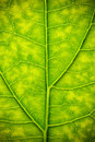 Leaf Veins Stock Image