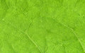 Leaf veins close up Royalty Free Stock Photo