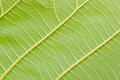 Leaf veins a close up of a fresh green showing Royalty Free Stock Photo