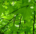 Leaf View of Spring.  Sweet Gum (Liquidambar styraciflua) Royalty Free Stock Photo