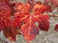 leaf of a vine tree
