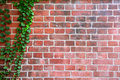 Leaf wall with old brick background. Royalty Free Stock Photo