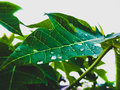 Leaf waterdrops Royalty Free Stock Photo