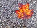 Leaf on wet Asphalt Stock Image