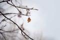 Leaf on winter tree Royalty Free Stock Photo