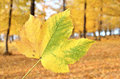 Leaf with yellow forest in the background in autumn season Royalty Free Stock Image