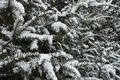 Leafage of yew covered with snow Royalty Free Stock Photo