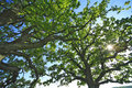 The leafage of an old oak . Royalty Free Stock Photo