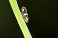 Leafhopper Royalty Free Stock Photo