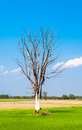 Leafless Big Tree on Center of Green Rice Field Royalty Free Stock Photo