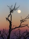 Leafless branch at sunset closeup of a against a colored sky with full moon Royalty Free Stock Photography
