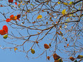 Leafless branches many and just a few colorful leaves Royalty Free Stock Image