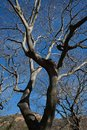LEAFLESS BRANCHES OF A WHITE STINKWOOD TREE