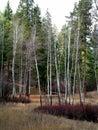Leafless Burch Trees Across an Open Meadow