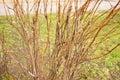 Leafless shrub Royalty Free Stock Photo