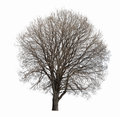Leafless tree isolated on white background Royalty Free Stock Image