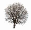 Leafless tree isolated