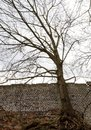 Leafless tree and a wall. Royalty Free Stock Photo