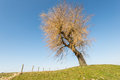Leafless weeping willow on a dike and against a blue sky Stock Image