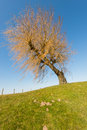 Leafless weeping willow on a dike and against a blue sky Stock Photography