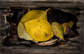 Leafs in a hole yellow leaf wood Stock Photography