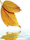 Leafs over Water Royalty Free Stock Photography