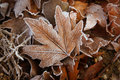 Leafs with white frost Royalty Free Stock Photos
