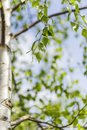 Leafy green birch tree closeup of with blue sky background Royalty Free Stock Photography