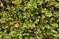 Leafy Green Ivy For Screensaver or Background. Background Screensaver Biology.