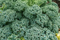 Leafy Green Kale Royalty Free Stock Photography