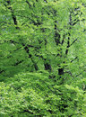Leafy green trees background of in wood or forest Stock Images
