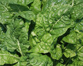 Leafy Greens Royalty Free Stock Photography